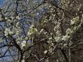 吉野梅園の梅�A