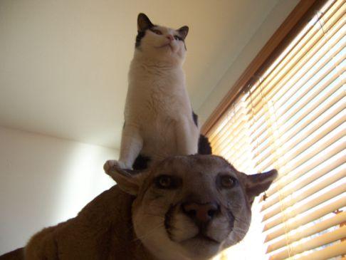 ピューマ?に猫乗っかってます